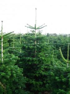 billige juletræer i normanns gran
