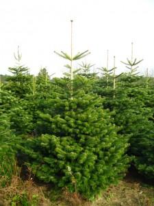 Billige normanns træer til jul