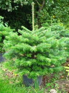Billige potte træer til jul