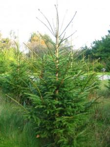 Juletræer i Rødgran billigt